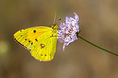 Clouded Yellow (Colias crocea) Posed with closed wings on a scabious flower in spring, Plaine des Maures, Environs des Mayons, Var, France