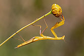 Praying mantis (Mantis religiosa) Yellow male on a stem in late spring, Plaine des Maures, Environs des Mayons, Var, France