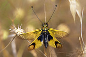 Butterfly-lion (Libelloides longicornis) with open wings resting on a dry stem in spring, Massif des Maures, near Hyères, Var, France
