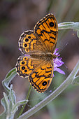 Wall Brown (Lasiommata megera) Posed with closed wings on a scabious flower in spring, Plaine des Maures, Environs des Mayons, Var, France