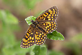 Heath Fritillary (Melitaea athalia) posed on a leaf in late spring, Plaine des Maures, Environs des Mayons, Var, France