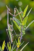 Conehead Mantis (Empusa pennata) Female on a mastic stem in late spring, Plaine des Maures, Environs des Mayons, Var, France