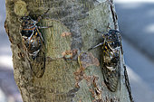 Common cicada (Lyristes plebejus) on the trunk of a tree in early summer, near Hyères, Var, France