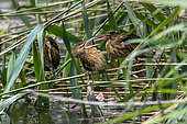 Little Bittern (Ixobrychus minutus) Young bird posed in the vegetation on the bank of the Meurthe River in summer, near Tomblaine, Lorraine, France