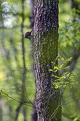 Black woodpecker (Dryocopus martius) on a trunk, Lorraine, France