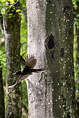 Black woodpecker (Dryocopus martius) in flight from its lodge in a beech tree in spring, Belleville communal forest, Lorraine, France