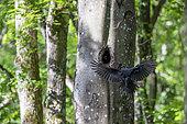 Black woodpecker (Dryocopus martius) in flight arriving at its lodge in a beech tree in spring, Belleville communal forest, Lorraine, France