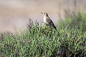 Tawny Pipit (Anthus campestris) at the top of a salicornia bush in spring, Vieux salins de Hyères, Var, France