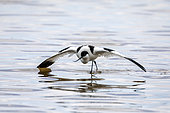 Pied Avocet (Recurvirostra avosetta) in position of an injured bird to distract and protect its brood in spring, Salin des Pesquiers, Hyères, Var, France