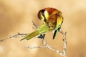European Bee-eater (Merops apiaster) on a branch cleaning its plumage in spring, Vieux Salins d Hyères, Var, France