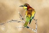 European Bee-eater (Merops apiaster) on a branch in spring, Vieux Salins d Hyères, Var, France