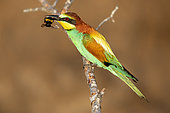 European Bee-eater (Merops apiaster) with a bumblebee in beak on a branch in spring, Vieux Salins d Hyères, Var, France