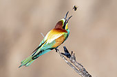 European Bee-eater (Merops apiaster) returning its prey: a bumblebee, after having knocked it down on the branch where it is sitting in spring, Vieux salins de Hyères, Var, France