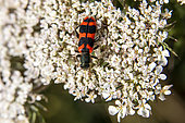 Bee beetle (Trichodes apiarius) Posed foraging on an umbellifer inflorescence in spring, Massif des Maures, near Hyères, Var, France