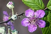 Shrubby blackberry (Rubus fruticosus) Detail of flowers in spring, Massif des Maures, near Hyères, Var, France