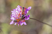 Longhorn beetle (Stenopterus rufus) Posed on a scabious flower in spring, Plaine des Maures, Environs des Mayons, Var, France