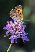 American Copper Butterfly (Lycaena phlaeas) foraging a scabious flower parasitized by red spiders in spring, Massif des Maures, near Hyères, Var, France