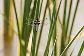 Eurasian red dragonfly (Sympetrum depressiusculum) Male sitting in the reeds in spring in a pond in a forest near Pierrefeu, Var, France