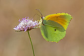 Cleopatra (Gonepteryx cleopatra) posing with closed wings on a scabious flower in spring, Plaine des Maures, Environs des Mayons, Var, France
