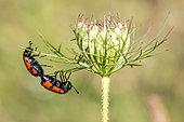 Mylabris Beetle (Mylabris quadripunctata) mating on an umbellifer in early summer, wooded hill near Hyères, Var, France