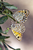 Wall Brown (Lasiommata megera) Mating at the end of a branch in early summer, on a hill near Hyères, Var, France