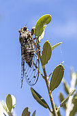 Grey cicada (Cicada orni) posed at the end of a branch in early summer, Hill near Hyères, Var, France
