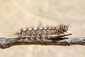Asian gypsy Moth (Lymantria dispar) caterpillar moving on a branch in summer, Massif des Maures, near Hyères, Var, France