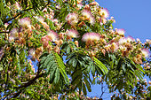 Silk tree (Albizia julibrissin) Set of flowers in summer on a tree in the public garden O.Riquier in Hyères, Var, France
