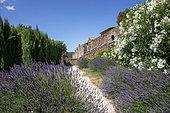 Lavender and Oleander in bloom at the beginning of summer, Gardens of the Chartreuse de la Verne, Massif des Maures, Hill near Collobrières, Var, France