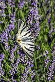 Southern swallowtail (Iphiclides podalirius) posing with open wings on lavender in summer, Massif des Maures, Around Collobrières, Var, France