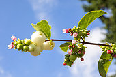Common snowberry (Symphoricarpos albus), Invasive alien species. Detail of flowers and berries in summer, Lorraine countryside, France