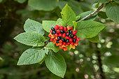 Wayfaring Tree (Viburnum lantana) Detail of berries in summer in a forest path, Forêt de Haye, near Nancy, Lorraine, France