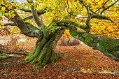 Old gnarled beech with moss in autumn in a former hute forest, Kellerwald National Park, Hesse, Germany, Europe
