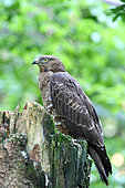 European Honey-Buzzard (Pernis apivorus) female on a stump in a clearing observing, France