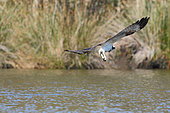 Osprey (Pandion haliaetus) migrating juvenile missing its fish on a pond, Finistère, France