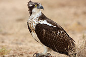 Osprey (Pandion haliaetus) juvenile in migration on land observing, Senegal
