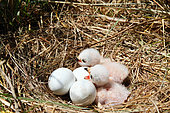 Montagu's Harrier (Circus pygargus) 2-day-old chicks in their ground nest hidden in the grass, Vendée, France