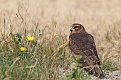 Montagu's Harrier (Circus pygargus) juvenile on the ground in the grass watching, Vendée, France