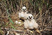 Marsh harrier (Circus aeruginosus) chicks nesting in the reeds