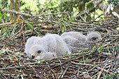 Common Buzzard (Buteo buteo) chicks about one week old in nest, Finistère, France