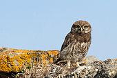 Little Owl (Athene noctua) juvenile on a low wall against a blue sky, Vendée, France