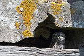 Little Owl (Athene noctua) juvenile hiding behind a lintel in a ruin observing, Vendée, France