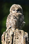 Tawny Owl (Strix aluco) Young bird about 5 weeks old on a stump, France