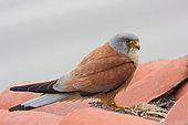 Lesser Kestrel (Falco naumanni) adult male near his nest under the tiles, Sud France