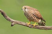 Kestrel (Falco tinnunculus) adult female on a branch, observing, Finistère, France