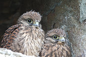 Kestrel (Falco tinnunculus) chicks about 4 weeks old at the entrance of the nest observing, Finistère, France