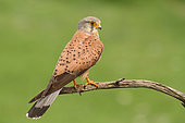 Kestrel (Falco tinnunculus) adult male on a branch, observing, Finistère, France