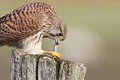 Kestrel (Falco tinnunculus) adult female devouring a praying mantis on a stake, Finistère, France