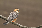 Red-footed Falcon (Falco vespertinus) adult female on a branch observing in her territory, Hungary