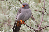 Red-footed Falcon (Falco vespertinus) male on a branch of a Silverberry tree (Eleagnus sp) watching in its territory for prey, Hungary